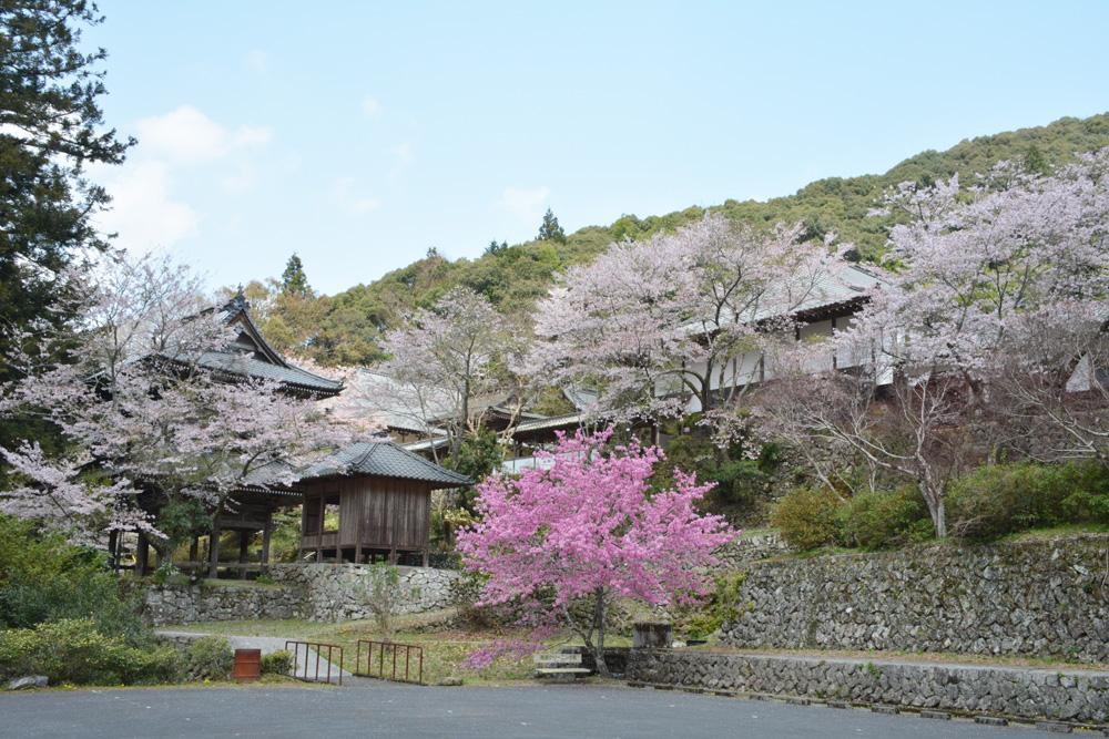 龍澤寺の桜