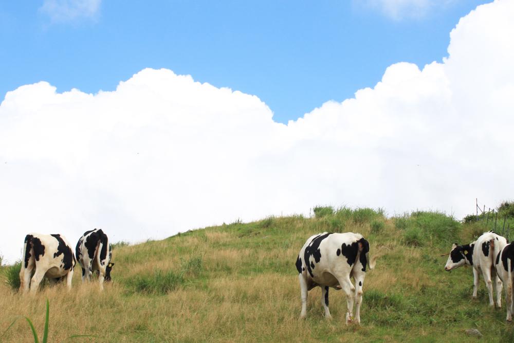現在は牛の放牧地
