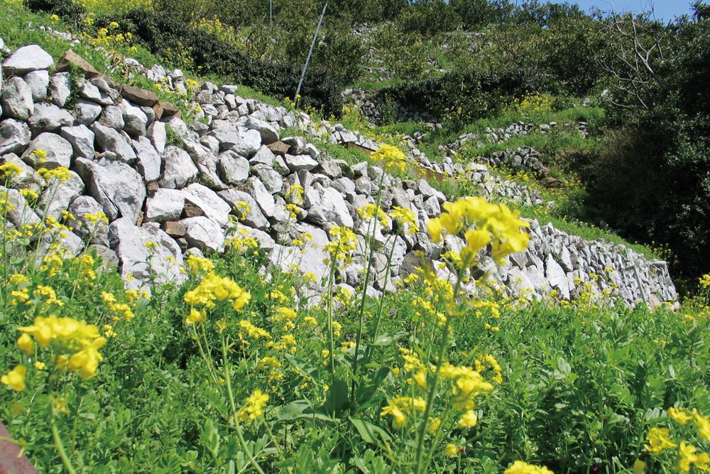 段々畑の菜の花