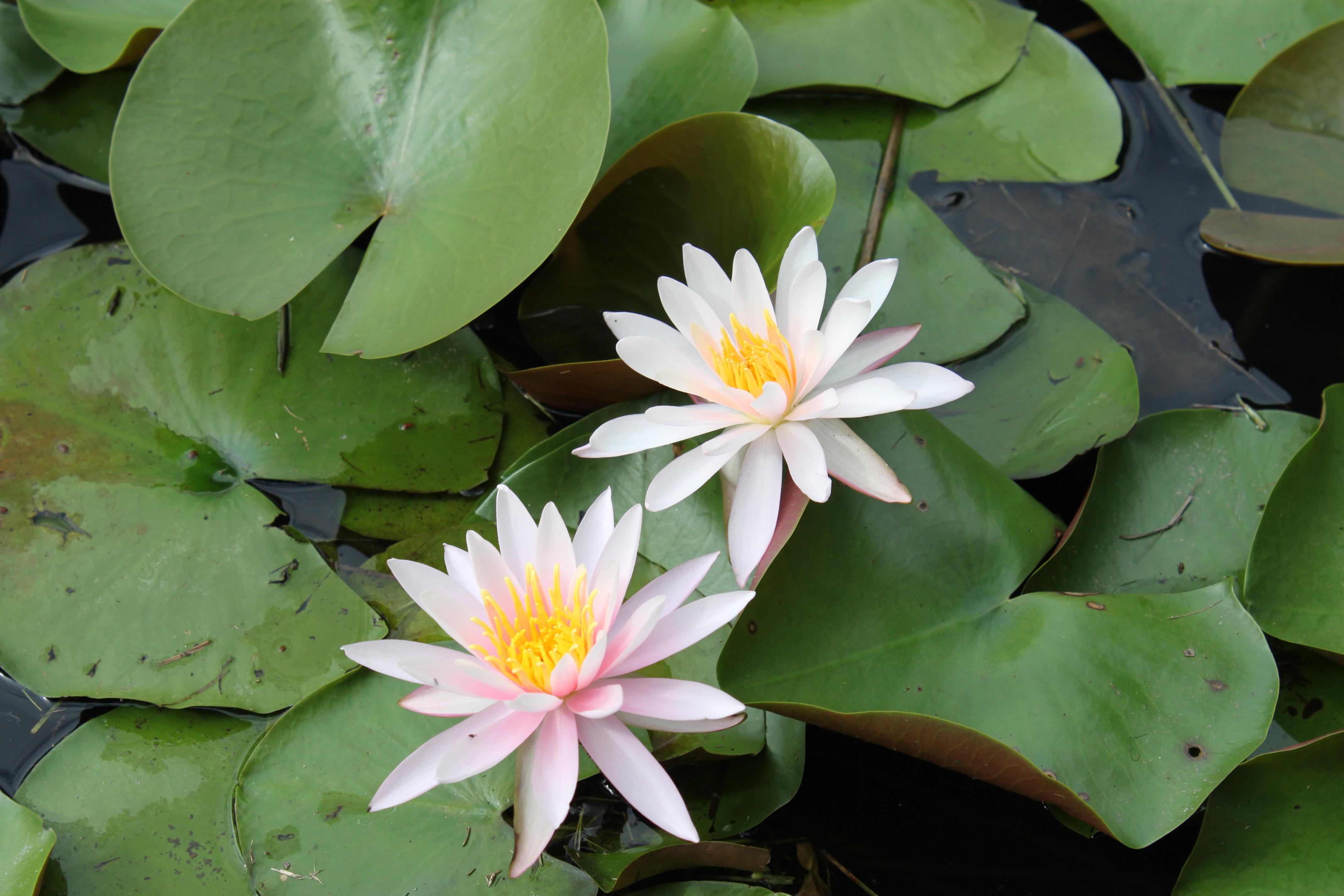 夏、池には睡蓮が咲きます